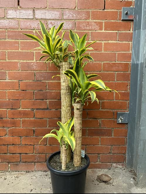 Happy Plant/Dracaena fragrans in 30cm pot