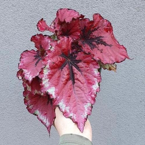 Begonia 'Kotobuki' in 15cm pot
