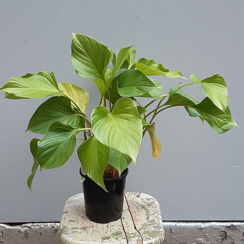Homalomena 'Sunshine Gem' in 14cm pot