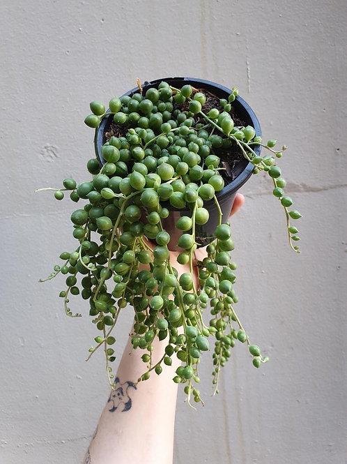 String of Pearls/Senecio rowleyanus in 12cm pot