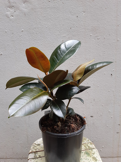 Burgundy Rubber Tree/Ficus elastica 'Burgundy' in 15cm pot
