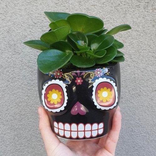Peperomia obtusifolia in Coloured Skull Pot