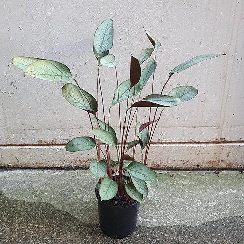 Ctenanthe setosa 'Grey Star' in 20cm pot