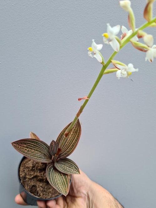 Jewel Orchid/Ludisia Discolour in 95mm pot
