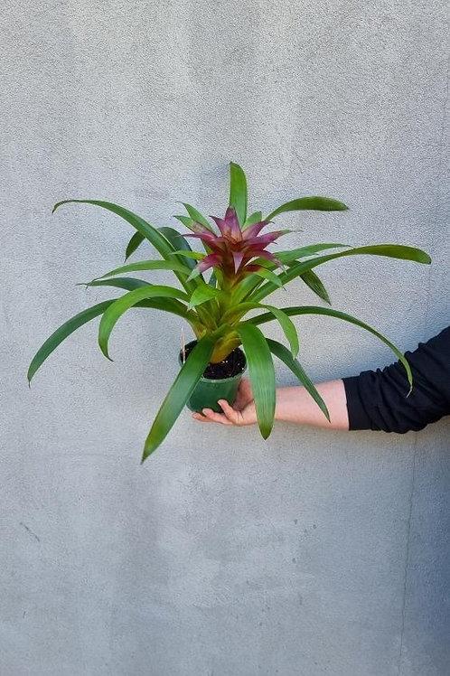 Guzmania Bromeliad in 14cm pot