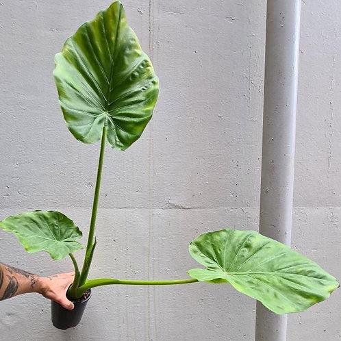 Alocasia macrorrhiza in 14cm pot