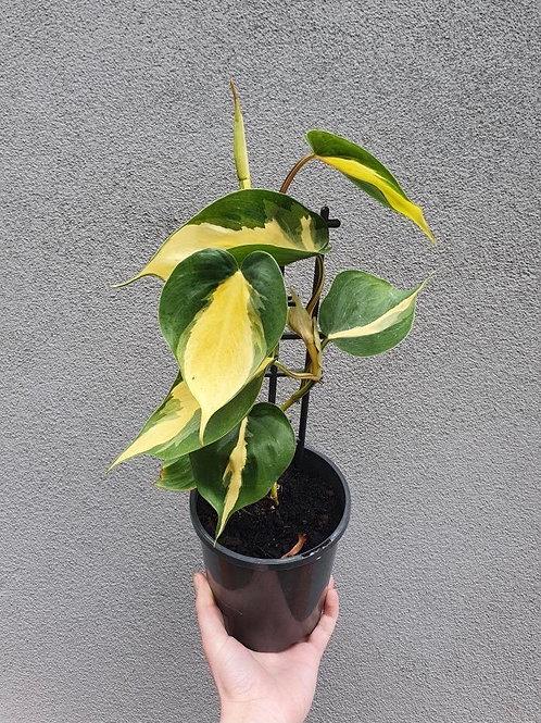 Philodendron 'Brasil' in 14cm pot