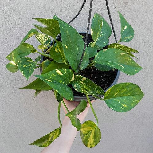 Devil's Ivy/Empiprenum aureum in 27cm hanging pot