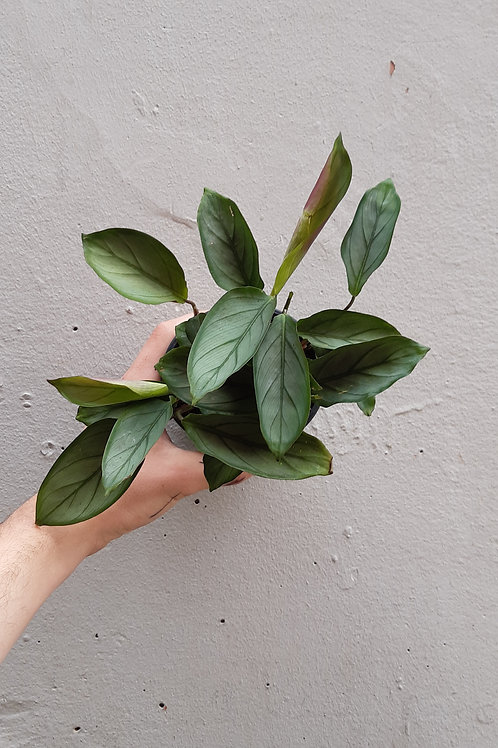 Ctenanthe setosa 'Grey Star' in 10cm pot
