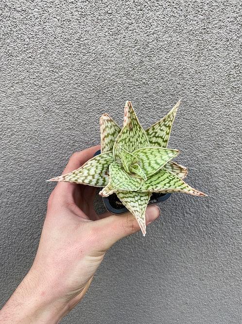 Aloe polyphylla 'Sunshine' in 6cm pot