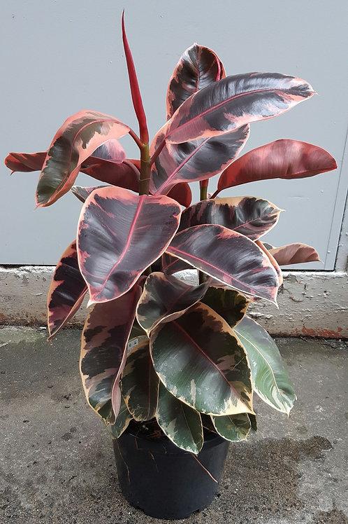 Ruby Rubber Tree/Ficus elastica 'Ruby' in 30cm pot