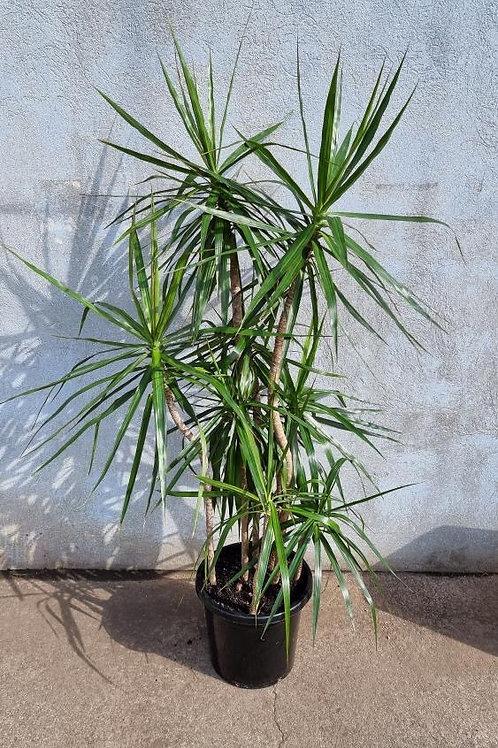 Dracaena marginata 30cm pot