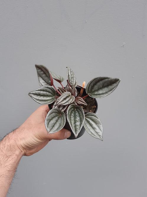 Peperomia caperata 'Mendoza' in 10cm pot