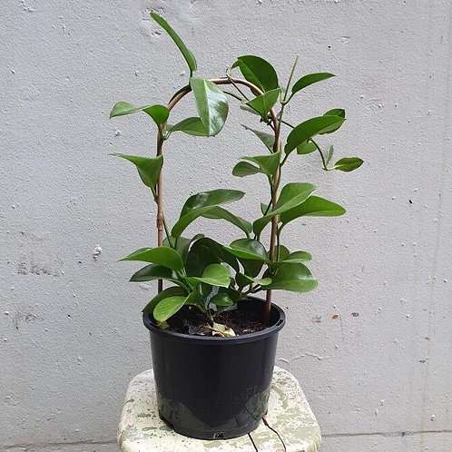 Hoya carnosa trellis in 20cm pot
