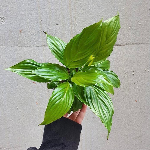 Peace Lily/Spathiphyllum wallisii in 10cm pot