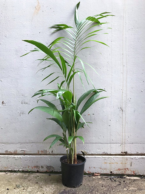 Bangalow Palm in 20cm pot