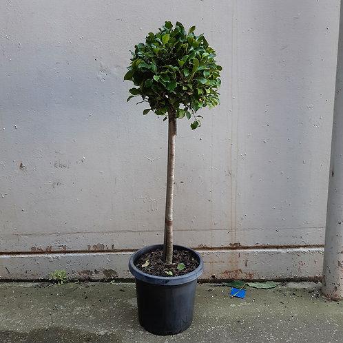 Ficus benjamina 'Emerald' in 30cm pot