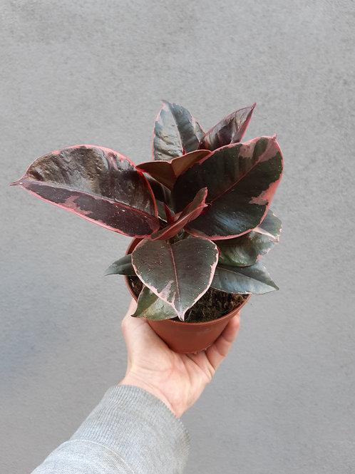 Ficus elastica 'Ruby' in 12cm pot
