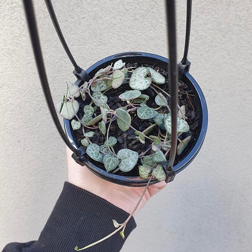 Chain Of Hearts/Ceropegia woodii in 13cm pot