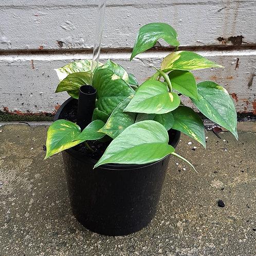 Devil's Ivy/Empiprenum aureum in 20cm pot
