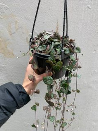 Chain of Hearts/Ceropegia woodii in 16cm hanging basket