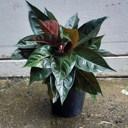Aglaonema 'Hot Lady Black' in 25cm pot