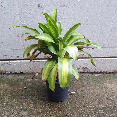 Happy Plant/Dracaena fragrans in 20cm pot