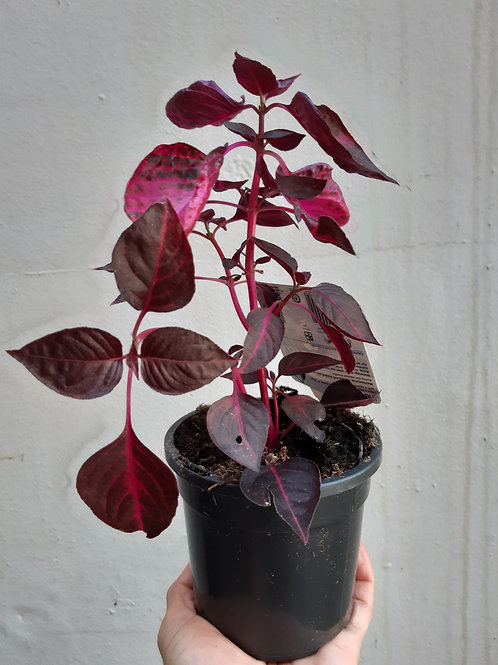 Iresine herbstii 'Bloodleaf' in 12cm pot
