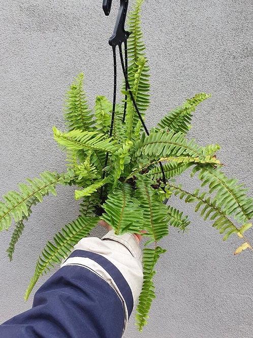Nephrolepsis exaltata in 20cm hanging pot
