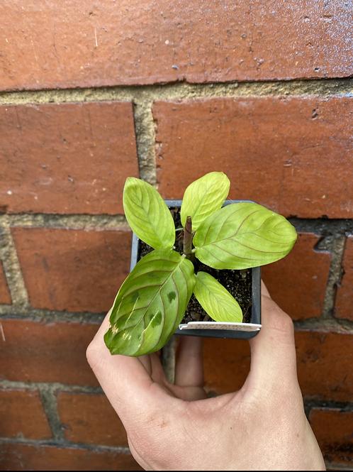 Prayer Plant/Maranata leuconeura 'Red Vein' in 75mm pot