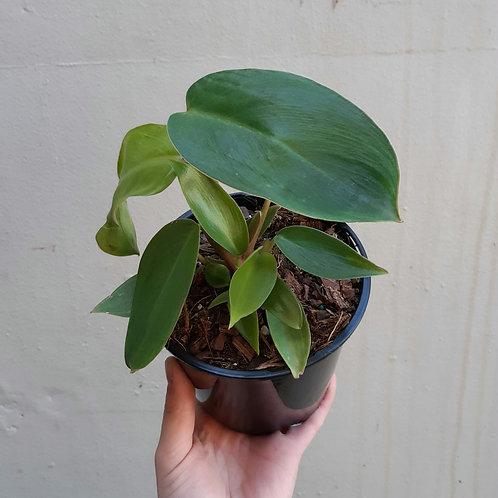 Philodendron 'Splash' in 13cm pot