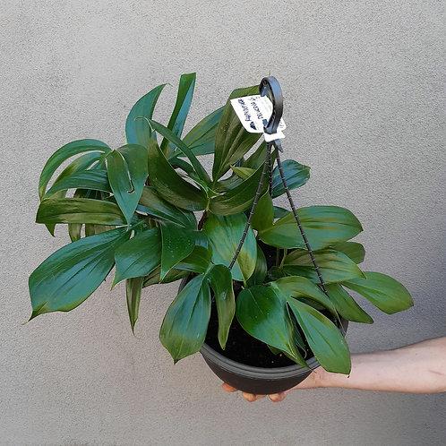 Dragon's Tail/Rhaphidophora decursiva in 27cm hanging pot
