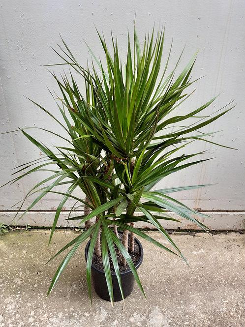 Dracaena marginata in 30cm pot