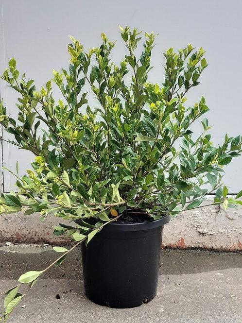 Gardenia 'Florida' in 30cm pot