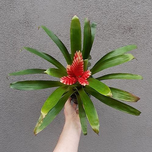 Bromeliad vriesea in 12cm pot