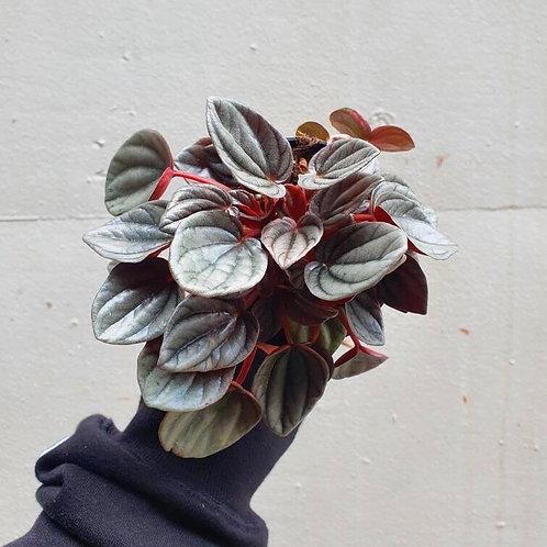Peperomia 'Mendoza' in 10cm pot
