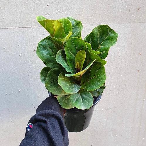Ficus lyrata 'Fairy' in 18cm pot