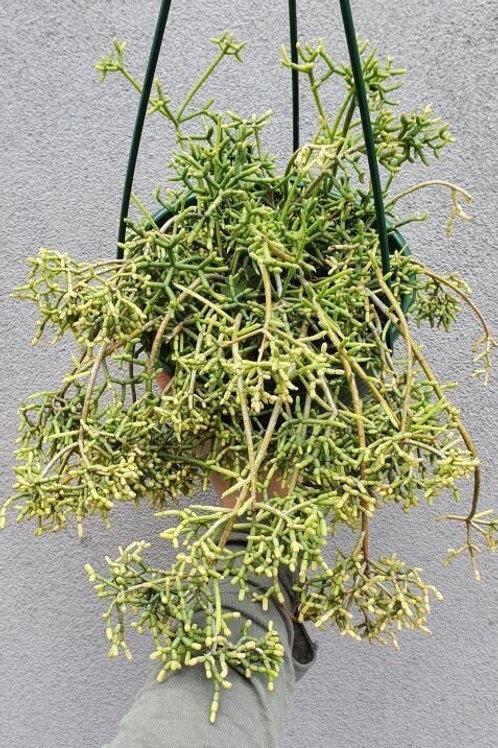 Rhipsalis cereuscula in 20cm hanging pot