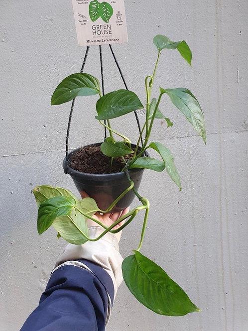 Monstera lechleriana in 20cm hanging pot