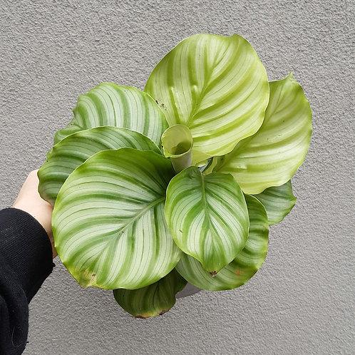 Calathea orbifolia in 17cm pot