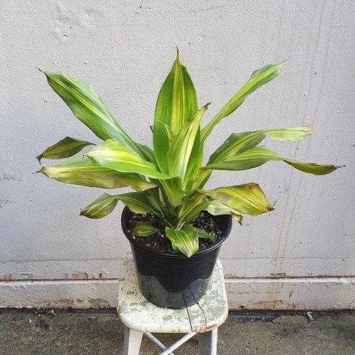 Dracaena 'Golden Heart' in 25cm pot