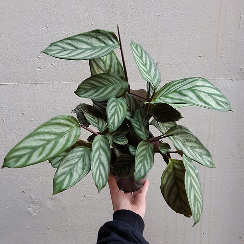 Prayer Plant/Ctenanthe oppenheimiana in 20cm pot