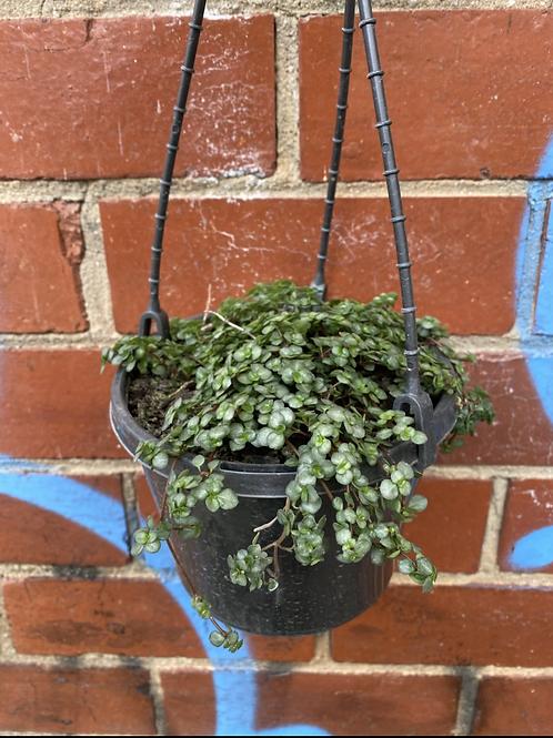 Pilea libanensis 'Silver Sprinkles' in 15cm hanging basket