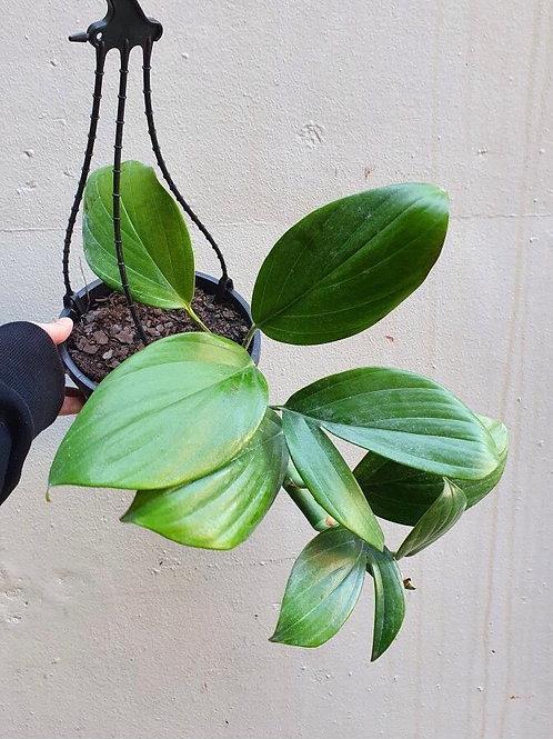 Dragon's Tail/Rhaphidophora decursiva in 18cm hanging pot