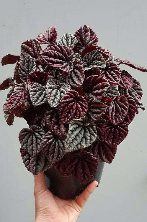 Peperomia 'Ruby Ripple' in 18cm pot
