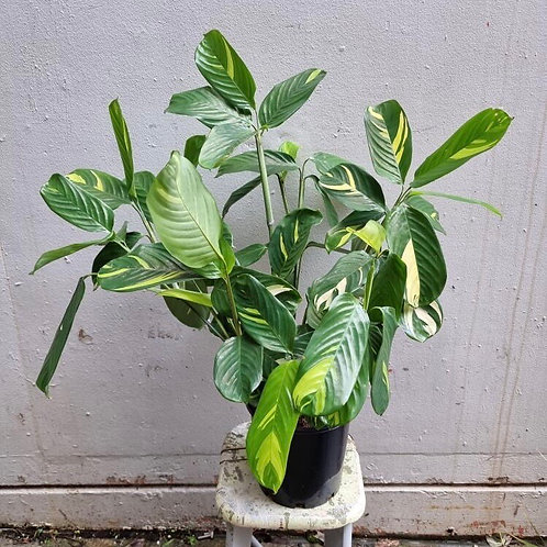 Ctenanthe lubbersiana 'Variegata' in 20cm pot