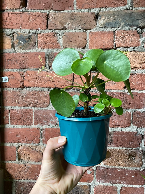 Chinese Money Plant/Pilea peperomioides in 12cm pot