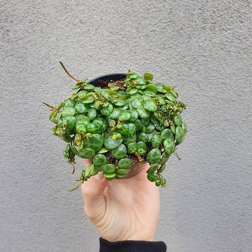 String of Turtles/Peperomia prostrata in 10cm pot