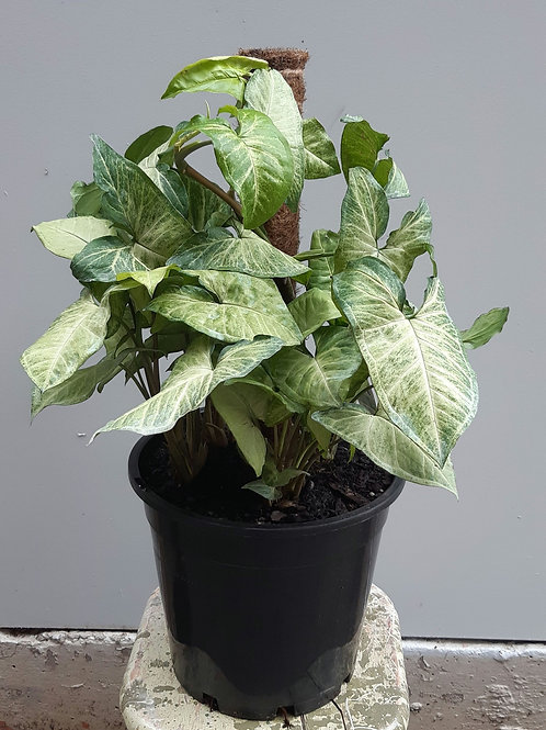 Syngonium 'White Butterfly' totem in 25cm pot