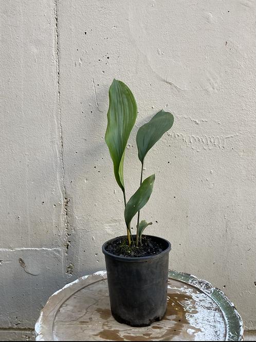 Cast Iron Plant/Aspidistra elatior in 14cm pot